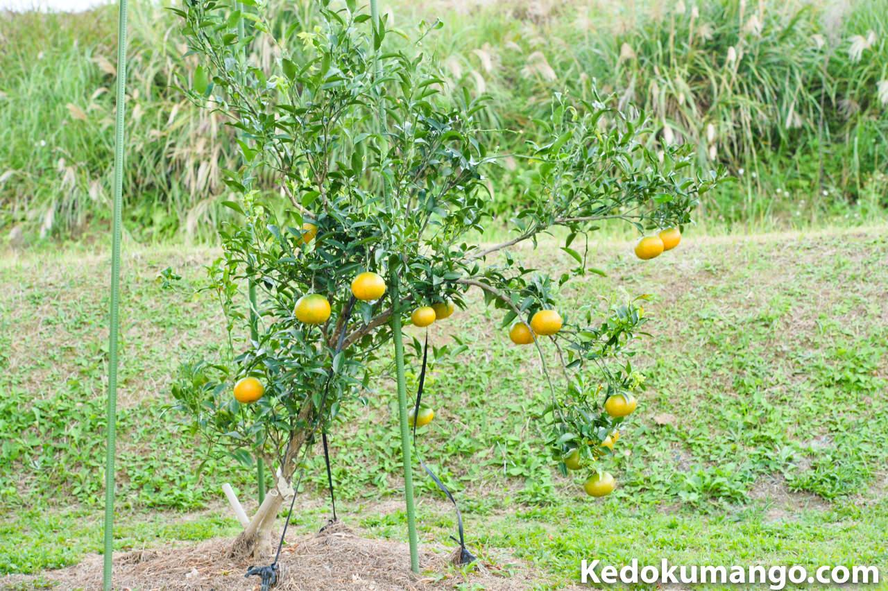 果実の実るオレンジの樹
