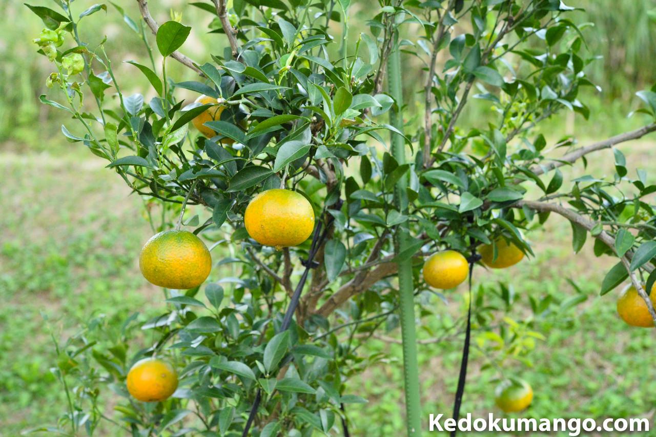 果実がさがるオレンジの樹