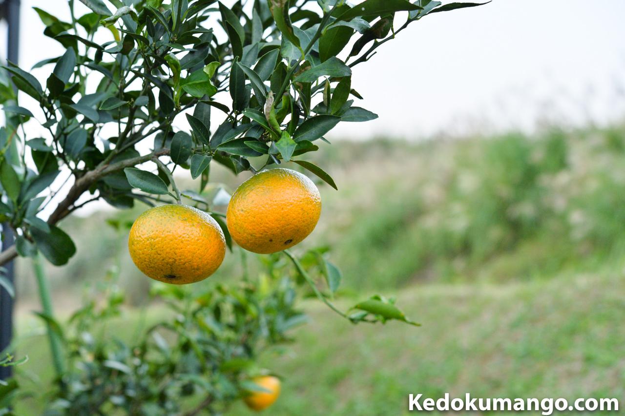 収穫直前のオレンジ_3