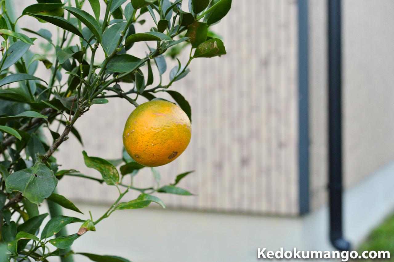 収穫直前のオレンジ_2