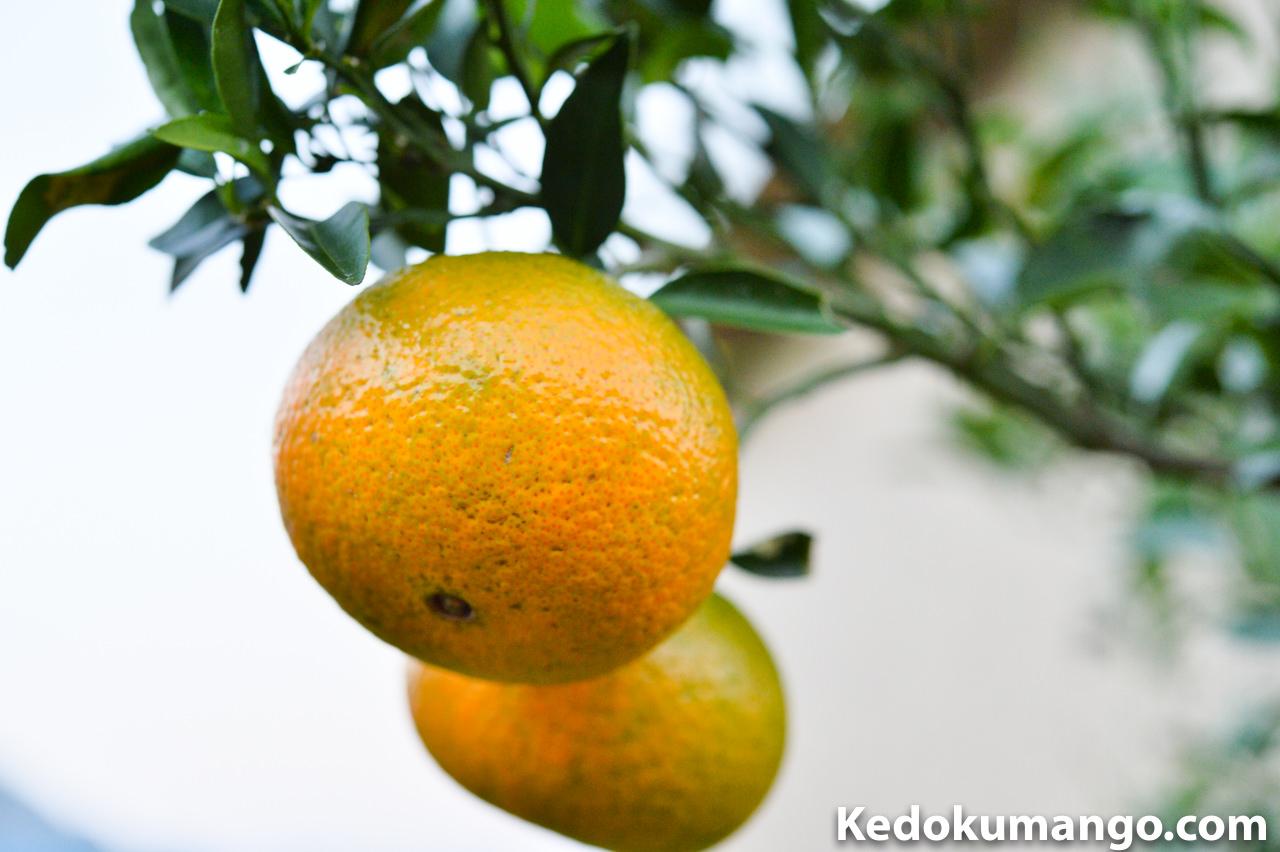 収穫直前のオレンジ_1