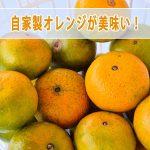 「徳之島」で育てる【オレンジ】が食べ頃となりましたので収穫しました!