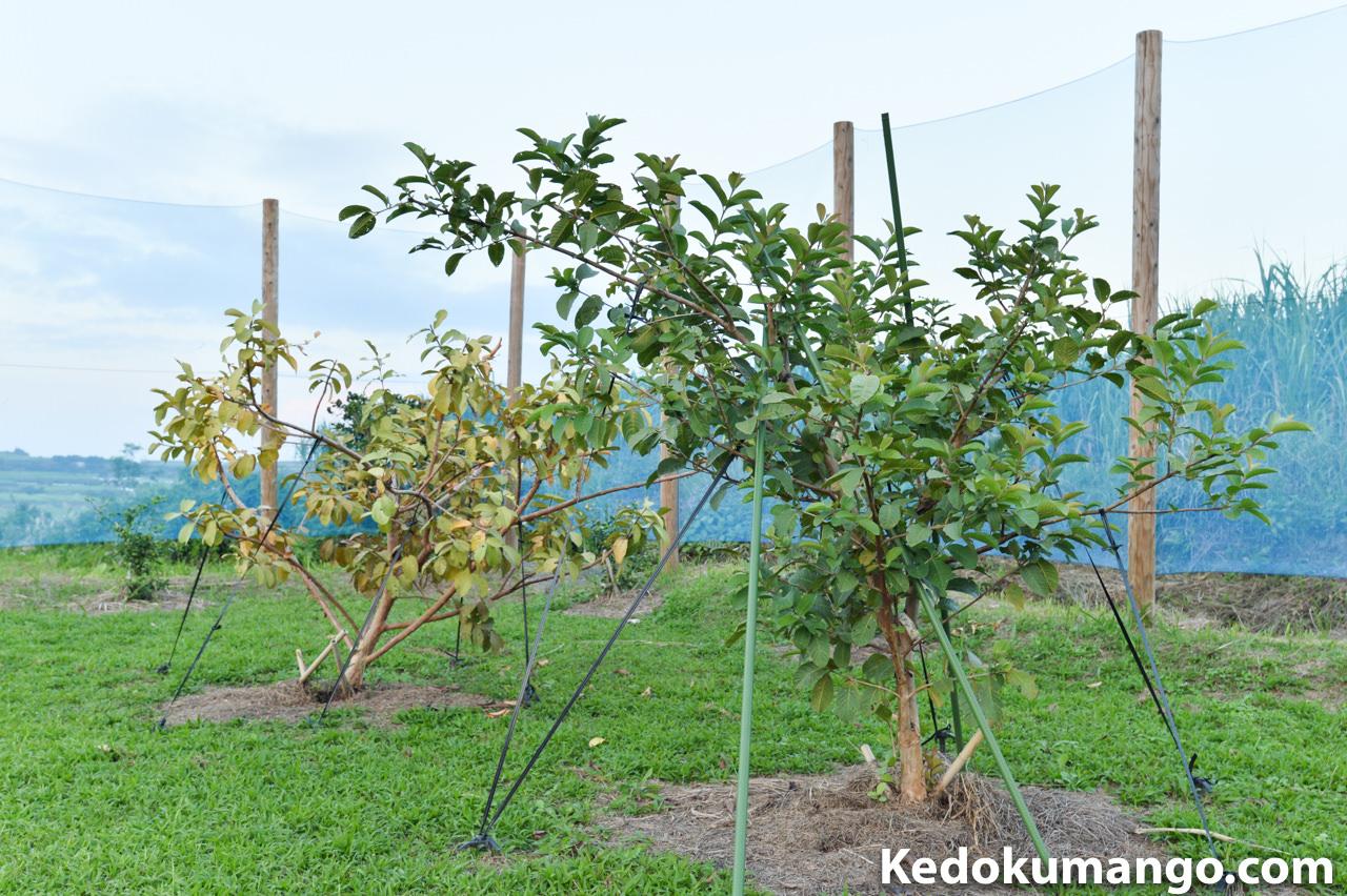 2016年11月下旬のグアバの樹