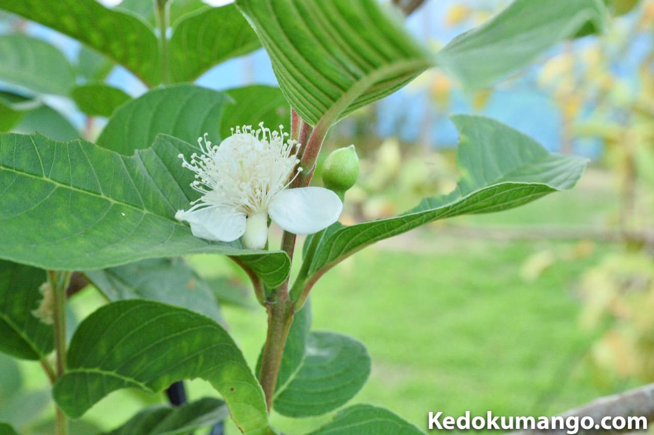 キンググアバの花