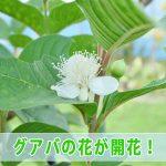 「徳之島」では健康茶としても人気のある【グアバ】が開花しています!