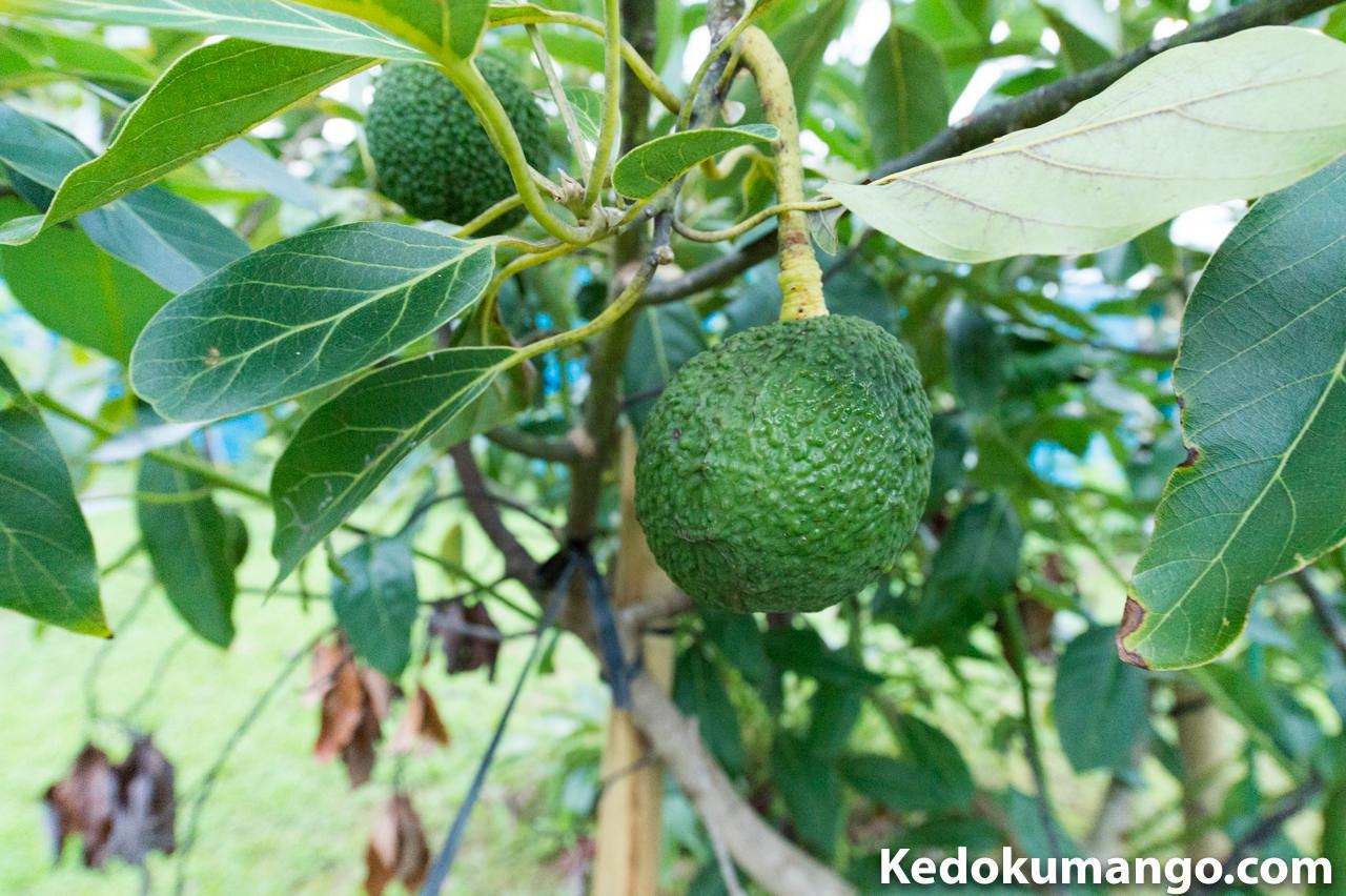 収穫前のアボカドの果実