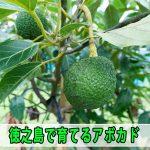 「徳之島」で育てる【アボカド】の収穫期直前の様子を紹介するよ!