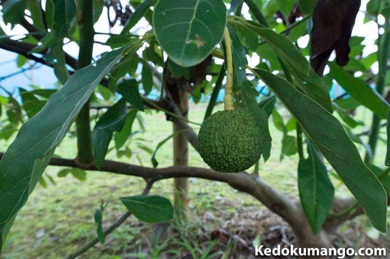 他の枝にもさがるアボカドの品種「ハス」の果実