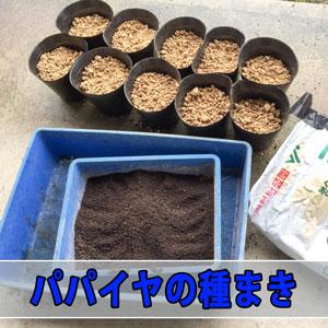 【パパイヤ】とっても甘い『フルーツパパイヤ』の種を植えるぞ! | 花徳マンゴー