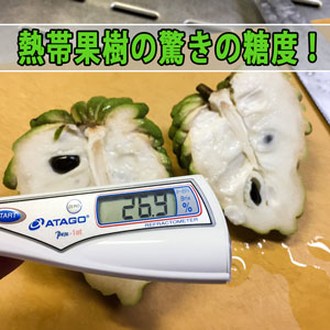 『徳之島』で育った熱帯果樹の【チェリモヤ】の糖度が凄すぎる! | 花徳マンゴー