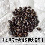 甘くて美味い徳之島産【アテモヤ】の種を植えて苗木づくりに挑戦です!