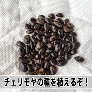 甘くて美味い徳之島産【アテモヤ】の種を植えて苗木づくりに挑戦です! | 花徳マンゴー