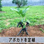 期待の高まる「沖縄生まれ」の【アボカド】苗木を徳之島で定植するぞ!