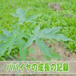 [徳之島]で種から育てる『フルーツパパイヤ』の成長の様子を紹介するよ!