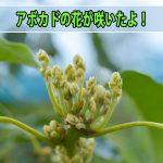 【アボカド】南国[徳之島]では、2016年も12月上旬に蕾(つぼみ)が上がってきています!