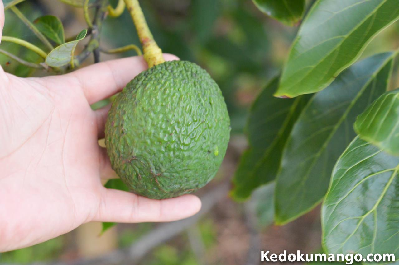 アボカドの果実の大きさの比較