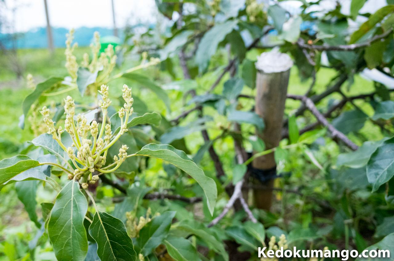 アボカドの品種「ハス」の蕾(つぼみ)