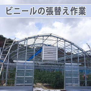 【ビニールハウス】のビニールの張替え作業が始まりました! | 花徳マンゴー
