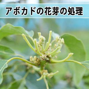 【アボカド栽培】成長の早すぎる花芽に対して対策を施したよ! | 花徳マンゴー