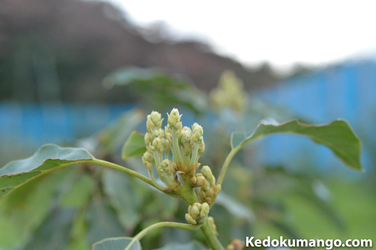 アボカドの品種「ハス」の花芽の様子