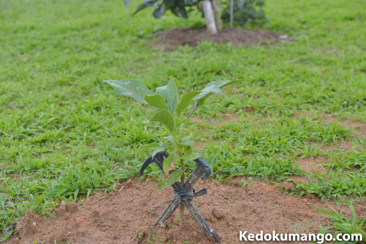 定植から10日が経過したアボカドの苗木