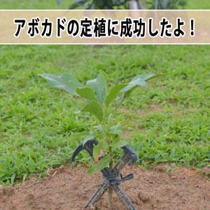 【アボカド栽培】沖縄からやってきた「苗木」は無事に根付いたようです! | 花徳マンゴー