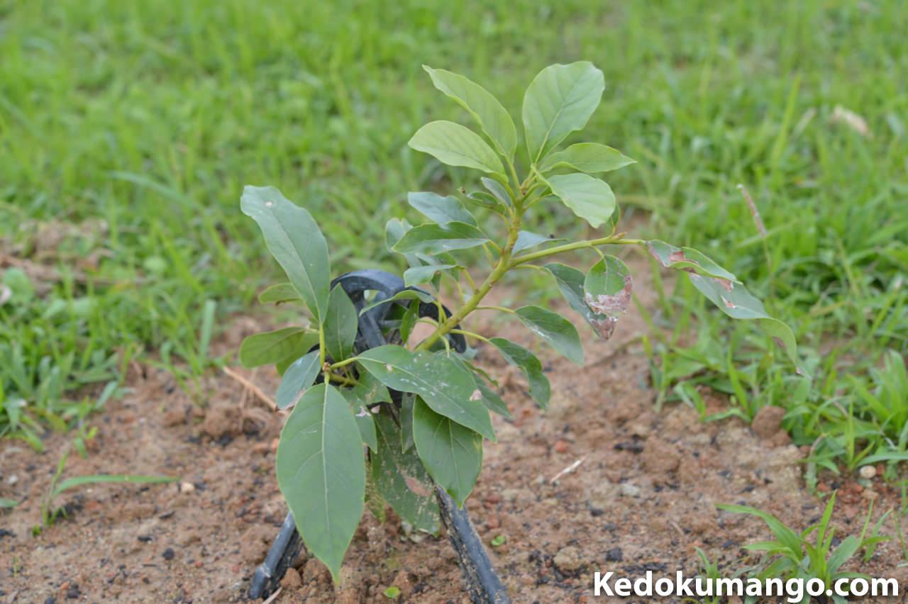 10日前に定植したアボカドの苗木