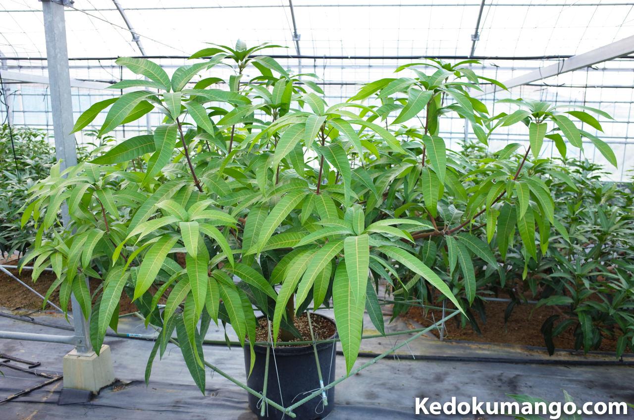 12月のマンゴーの品種「レッドキンコウ」の様子