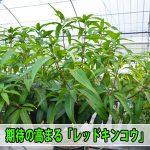 【マンゴー栽培】大型果実が魅力の『レッドキンコウ』が良い感じに成長しています!