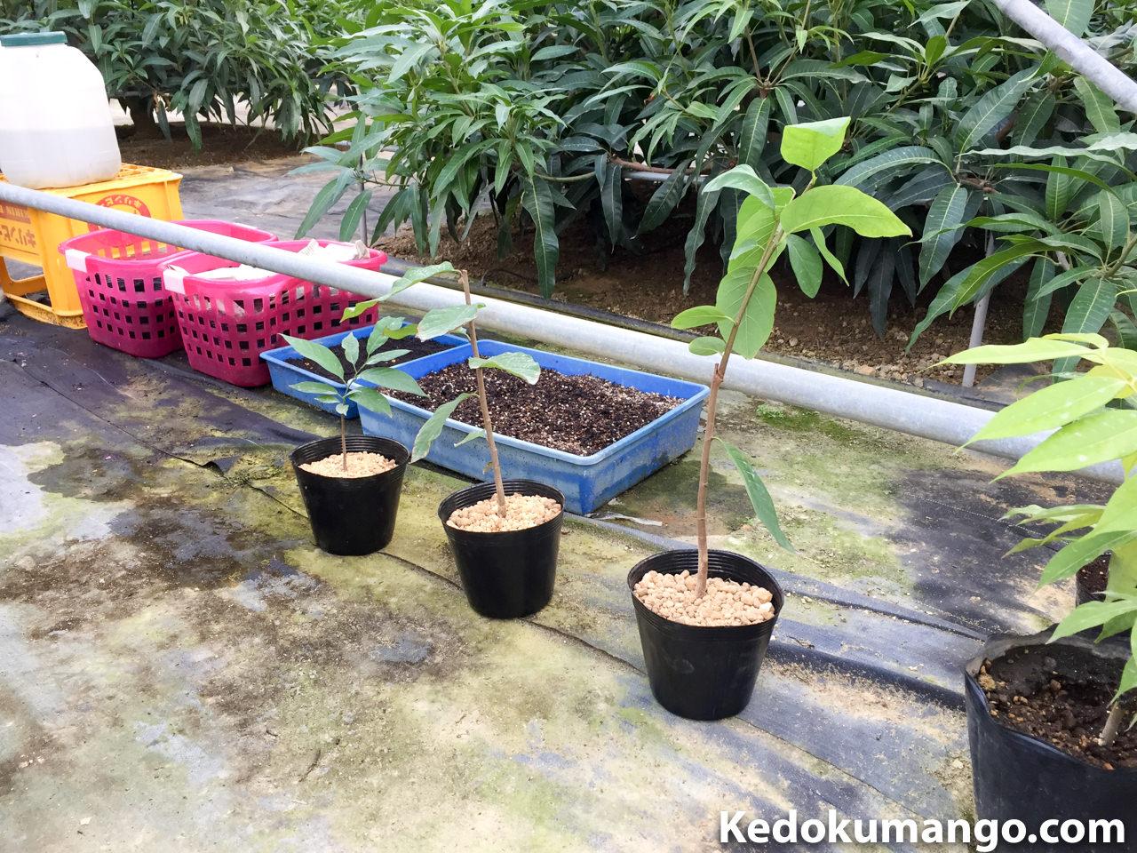 ポット鉢に移植したアテモヤの苗