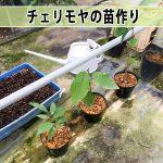 【アテモヤ】の実生苗をポット鉢へ移植したよ!