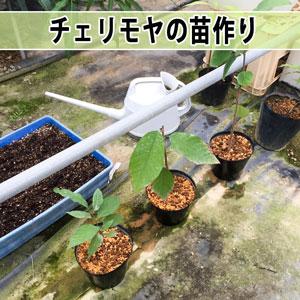 【アテモヤ】の実生苗をポット鉢へ移植したよ! | 花徳マンゴー