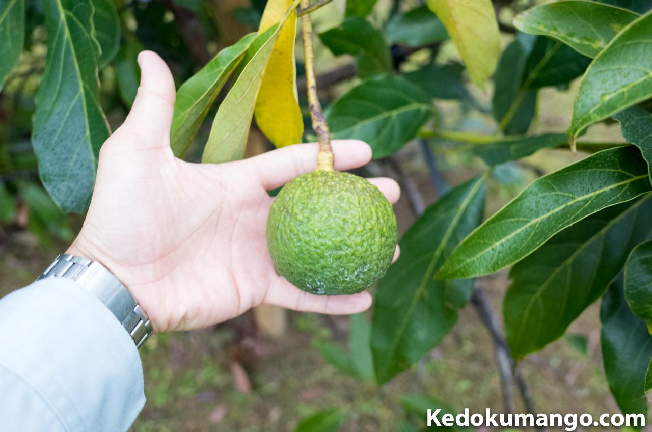 アボカドの果実_1
