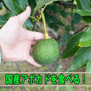 『徳之島』で育てる樹上で完熟を迎えた【国産アボカド】が超絶に美味い! | 花徳マンゴー