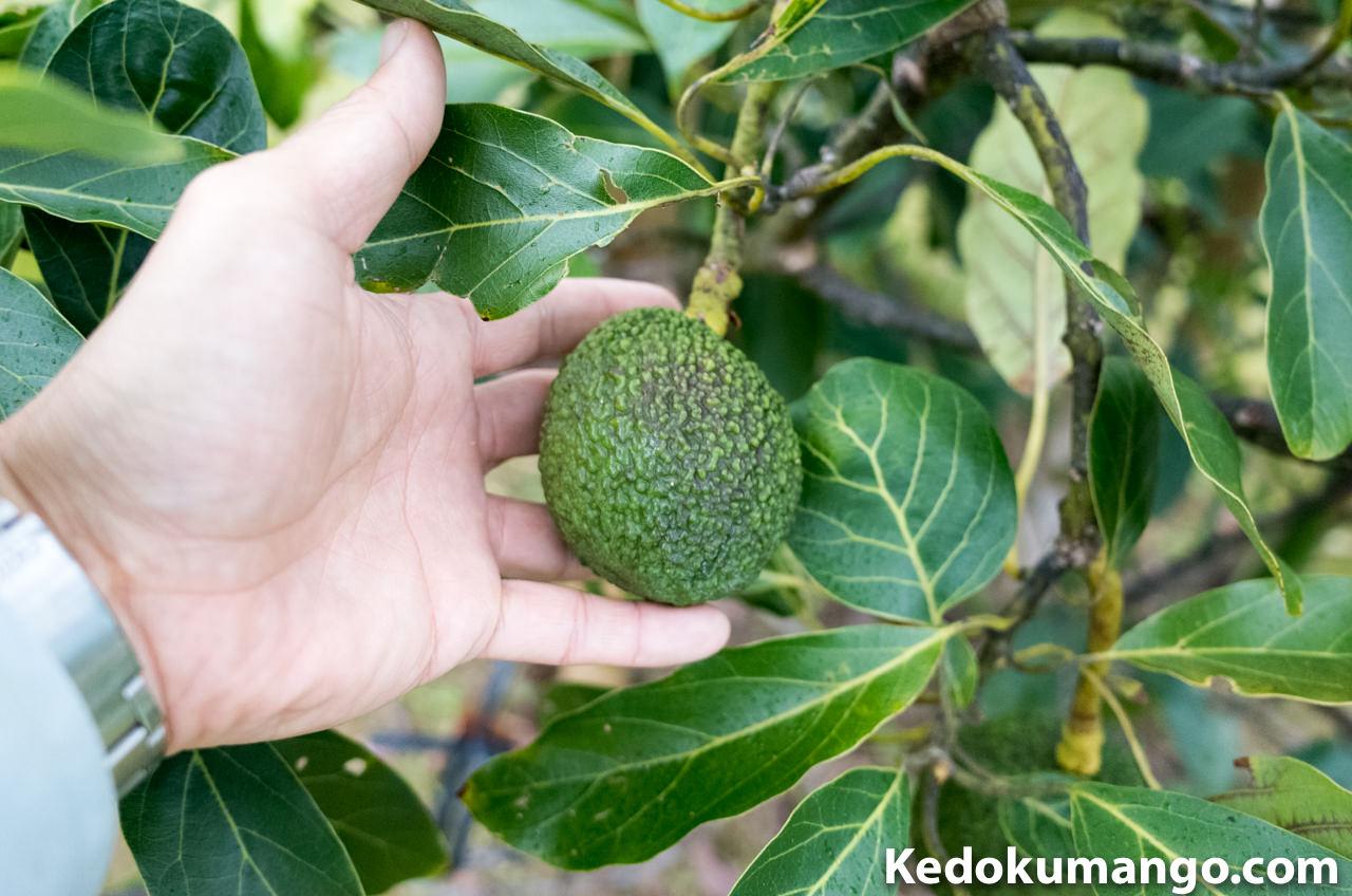 アボカドの果実_3