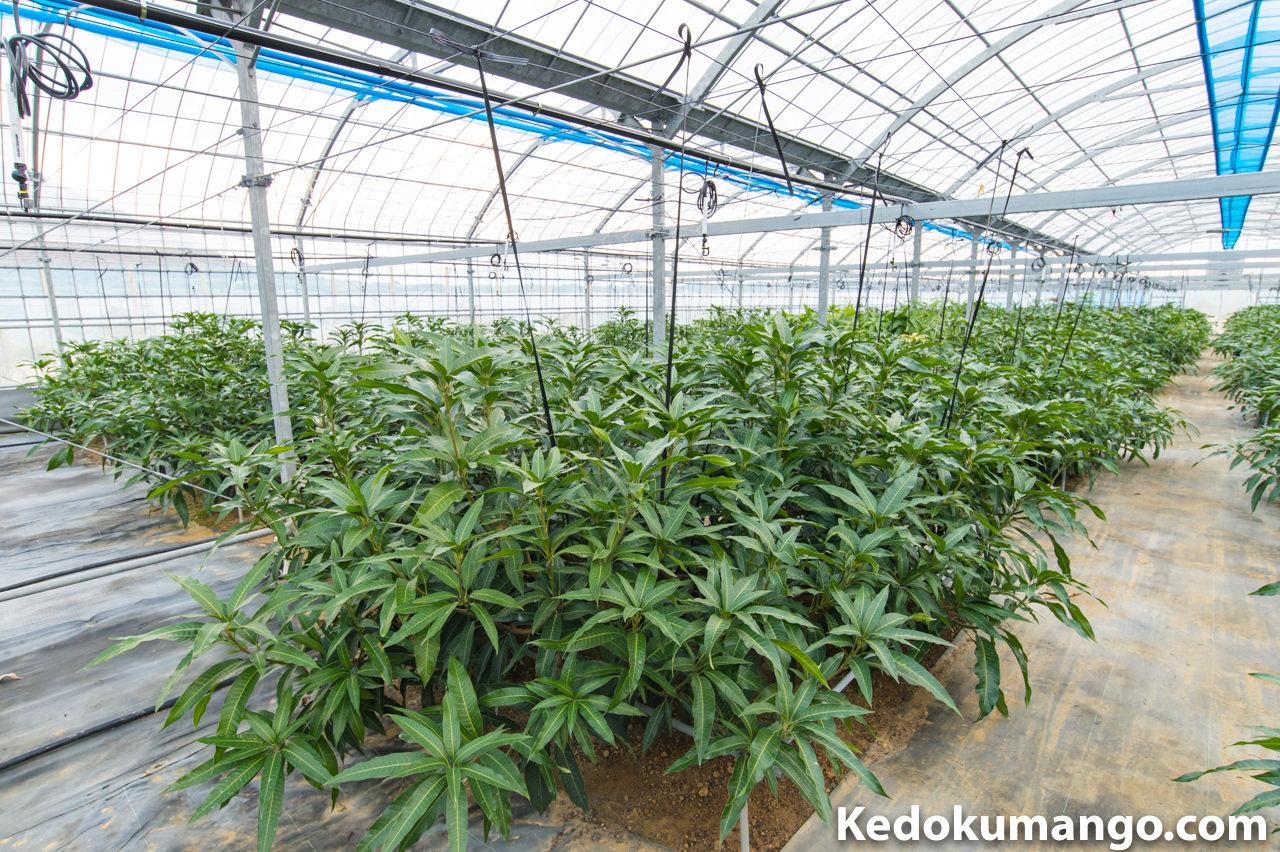2017年1月中旬のマンゴー栽培の様子