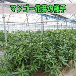【マンゴー栽培】暖冬な徳之島では花芽のあがり方が遅れています!