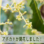「徳之島」での【アボカド栽培】は2017年も開花が始まりました!