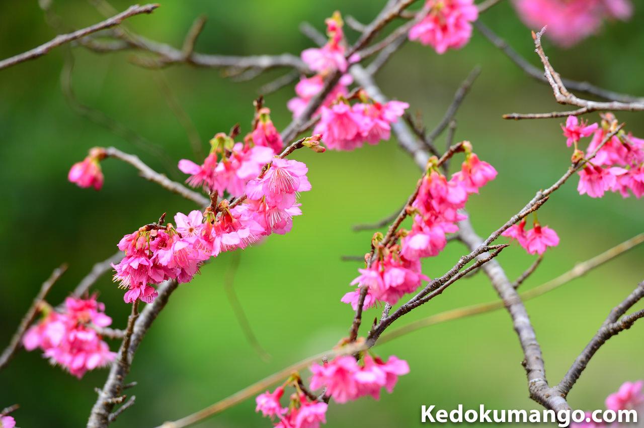 緋寒桜の花_2