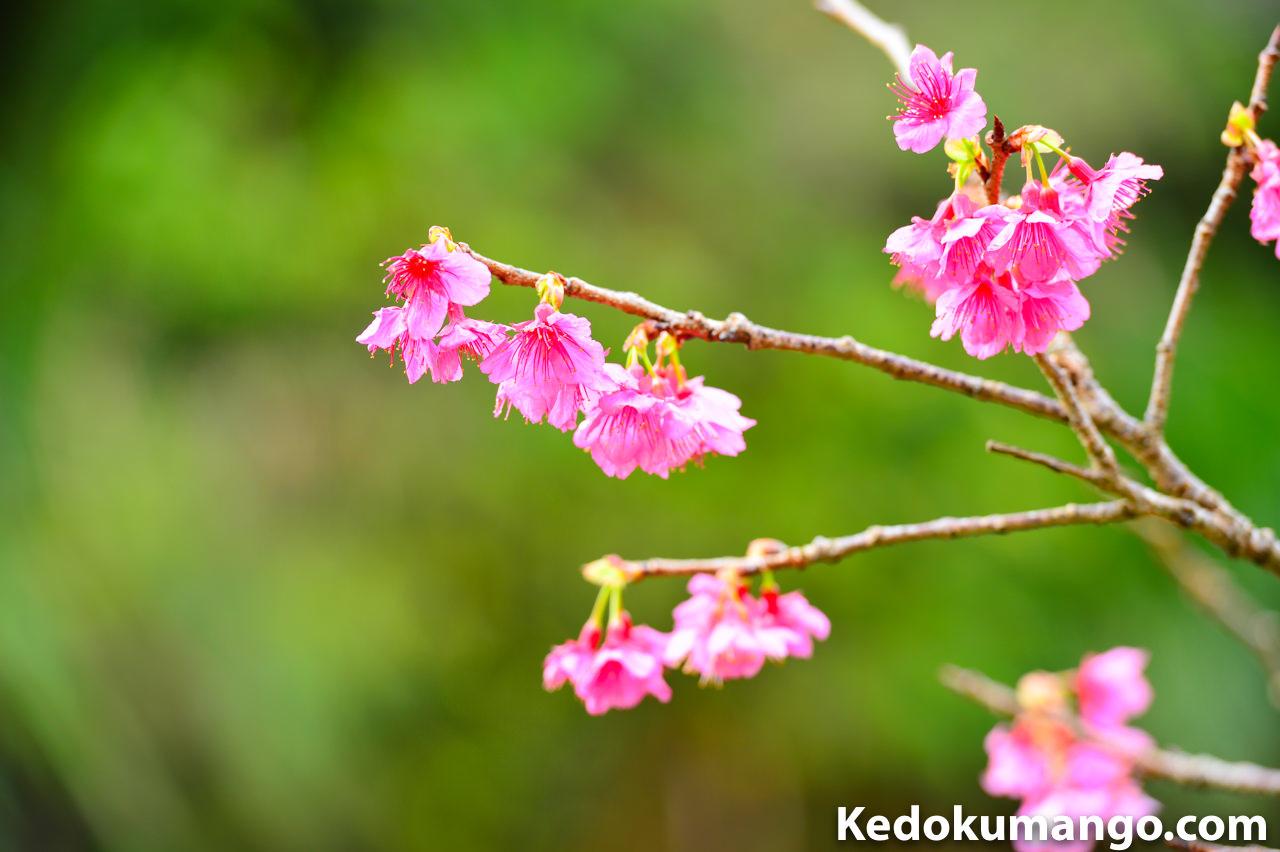 緋寒桜の花_1