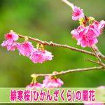 【徳之島】ではピンク色で可愛らしい『緋寒桜』が開花しているよ!