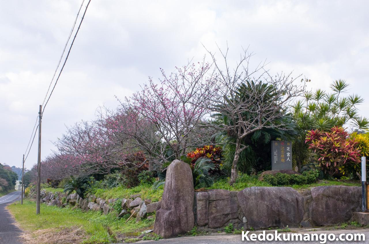 芝建設アスファルトプラントの緋寒桜