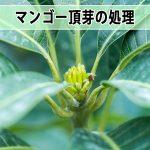 【マンゴー栽培】2017年のマンゴー栽培は頂芽の処理を開始しました!