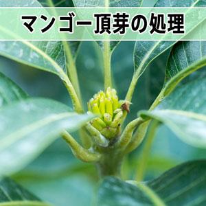 【マンゴー栽培】2017年のマンゴー栽培は頂芽の処理を開始しました! | 花徳マンゴー