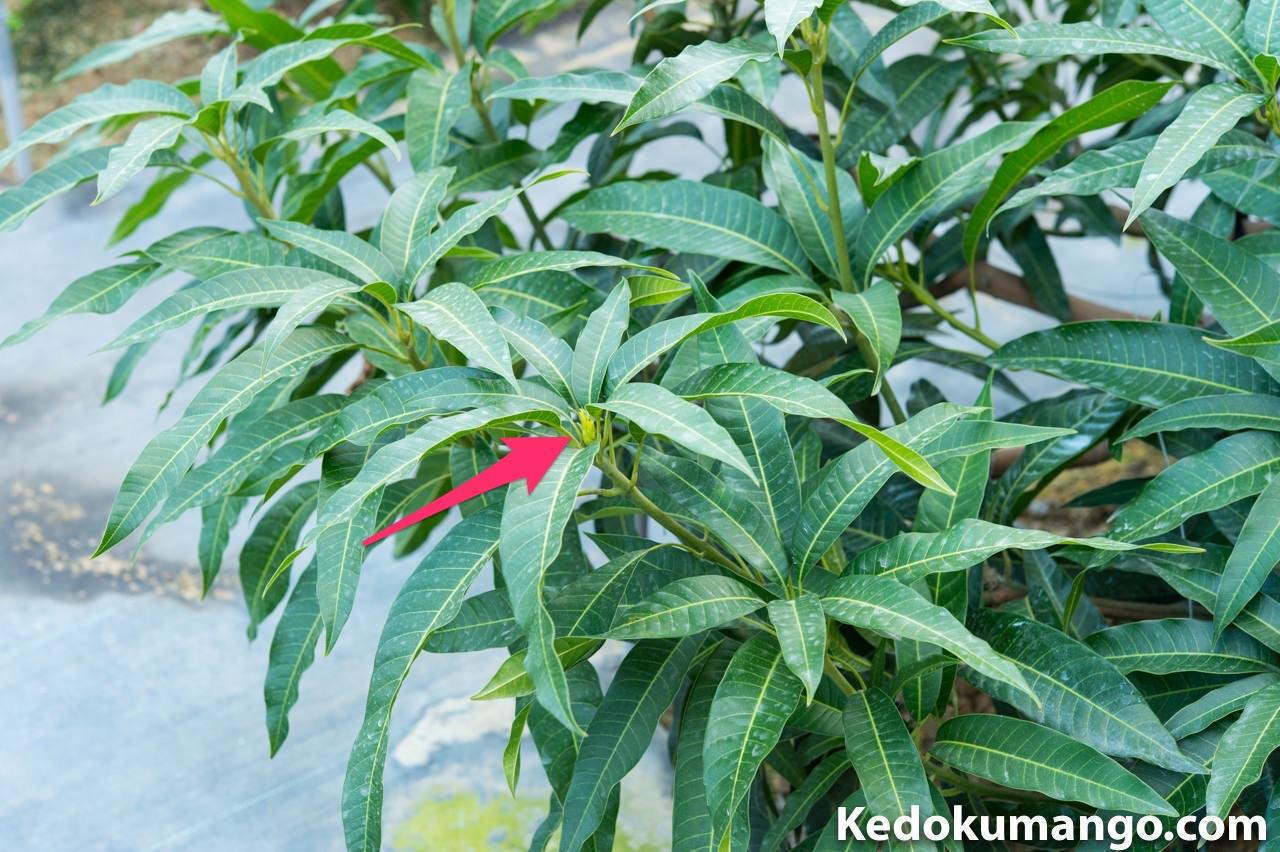 マンゴーの樹の枝