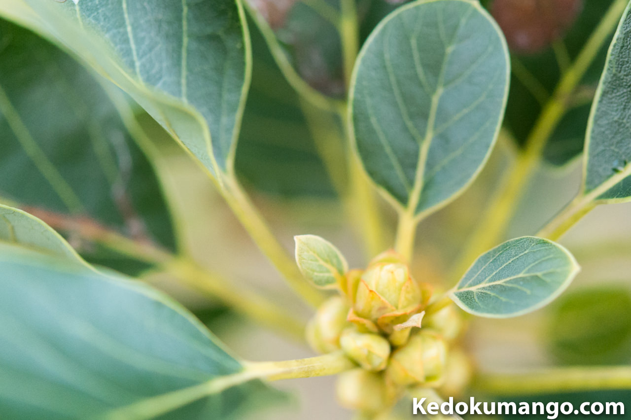 アボカド「モンロー」の花芽_2