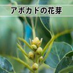 【アボカド栽培】今期の『モンロー』の花芽の形が今までと違うぞ!