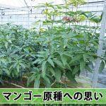 今期の【マンゴー栽培】で『マンゴー原種』に期待していること!