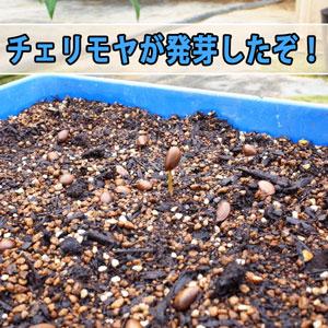 「徳之島」で種から育てる【アテモヤ】が発芽したぞ! | 花徳マンゴー