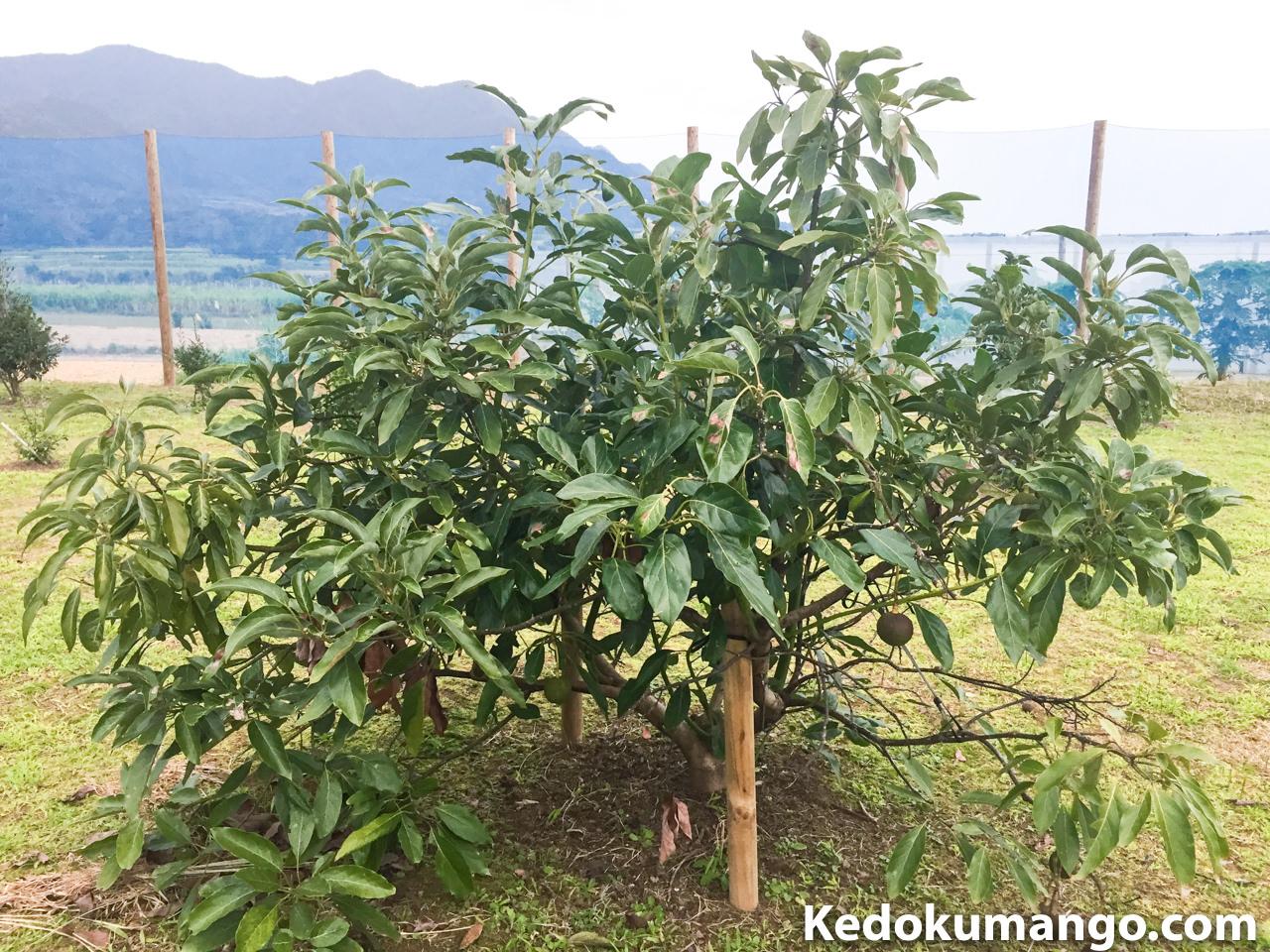 アボカド「ハス」の樹